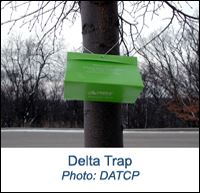 Photo of a Gypsy Moth Delta Trap hanging from a tree branch