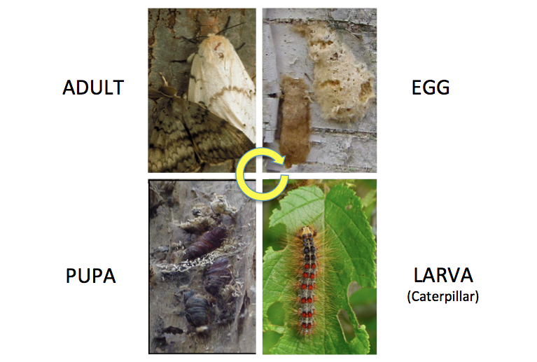 gypsy moth life cycle